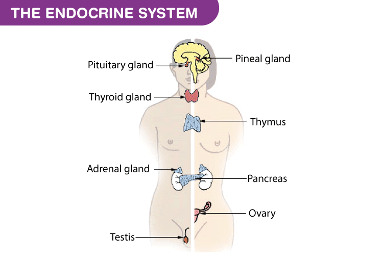 Physiology-The-Endocrine-System
